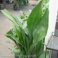 #3 Aspidistra elatior/Cast Iron Plant