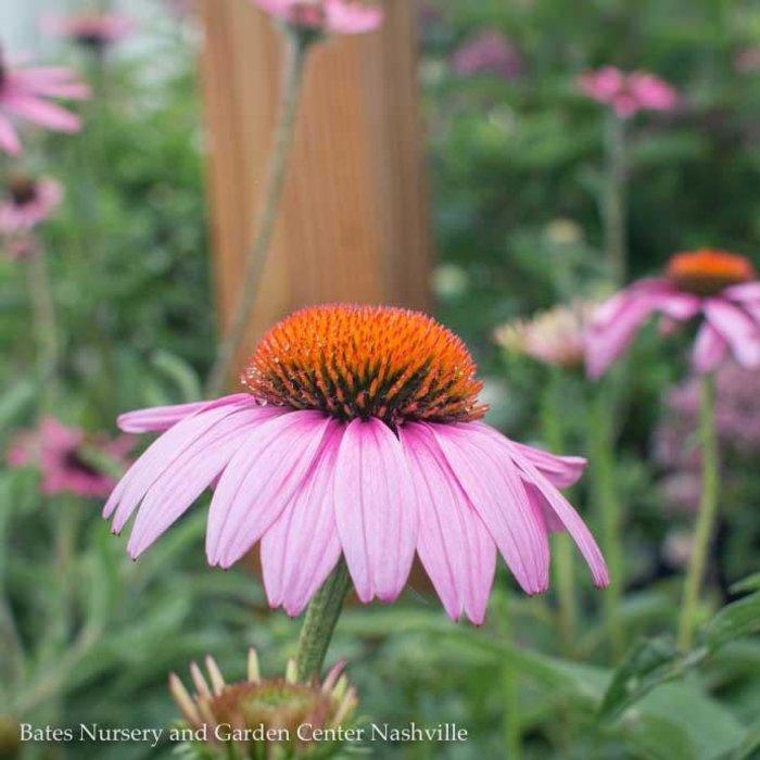 QP Echinacea p. Prairie Splendor/Coneflower Rose-pink