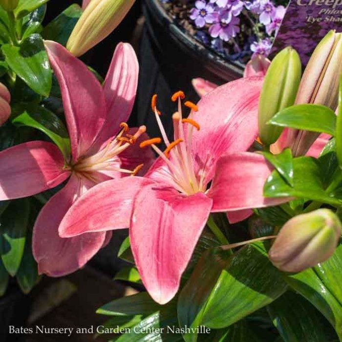 #1 Lilium asiatic Tiny Pearl/Lily Pink