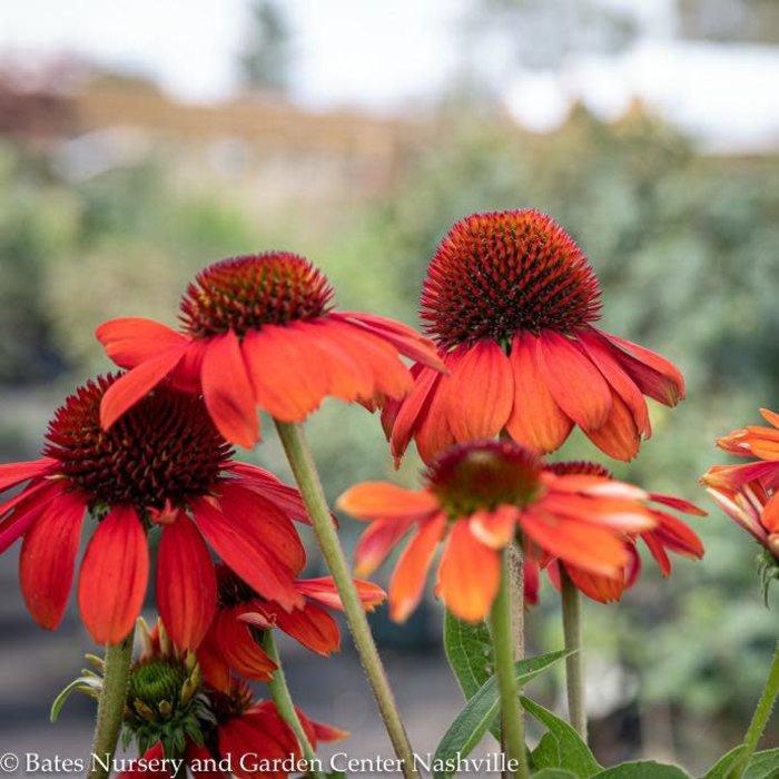 #1 Echinacea Sombrero Flamenco Orange/Coneflower