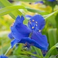 #1 Tradescantia Sweet Kate/Spiderwort