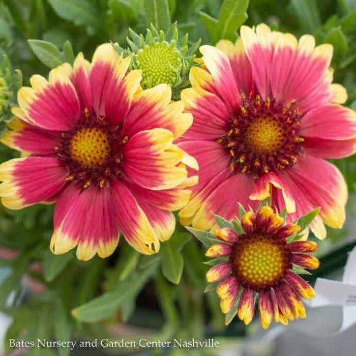 #1 Gaillardia Sunset Snappy/Blanket Flower