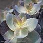 #1 Sedum Sunsparkler 'Blue Pearl'/Stonecrop