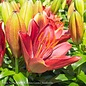 #1 Lilium Tiny Rocket/Asiatic Lily Red