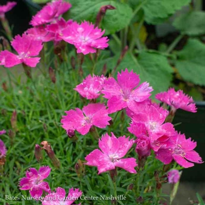 #1 Dianthus Kahori/Pink