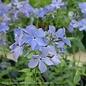 QP Phlox divaricata Blue Moon/Woodland Phlox