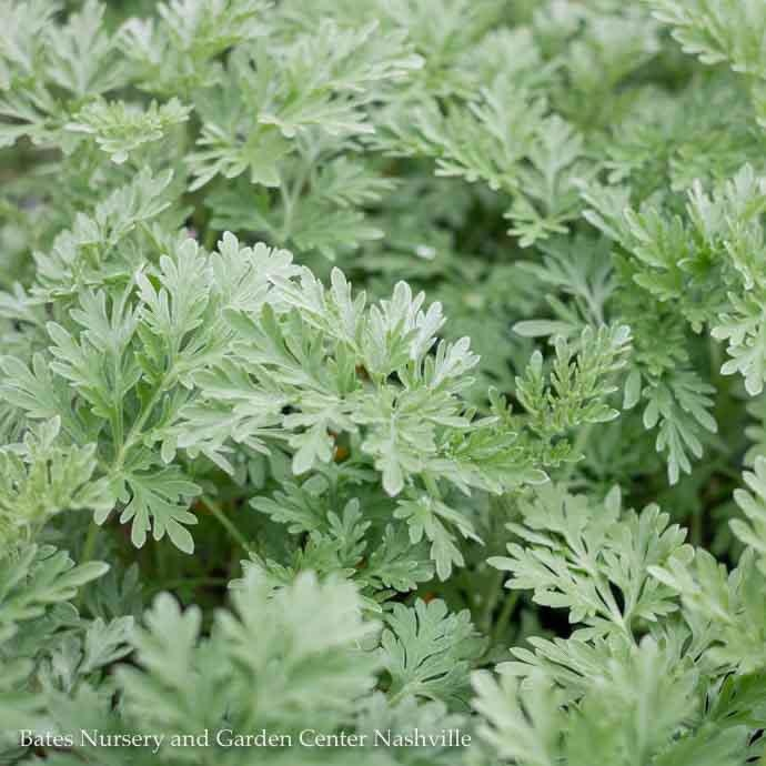 #1 Artemisia Powis Castle/Wormwood