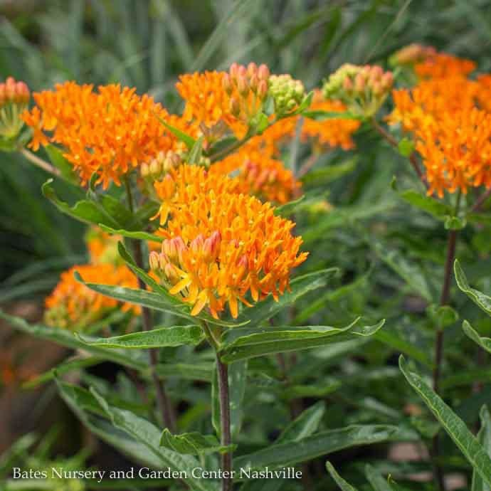 #2 Asclepias tuberosa Gay Butterflies/Butterfly Weed