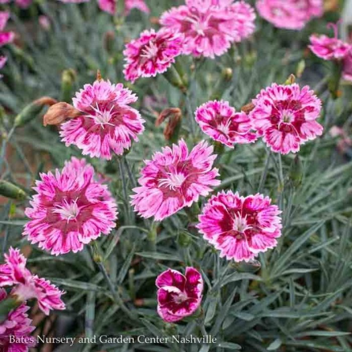 #1 Dianthus Whetman Stars Superstar