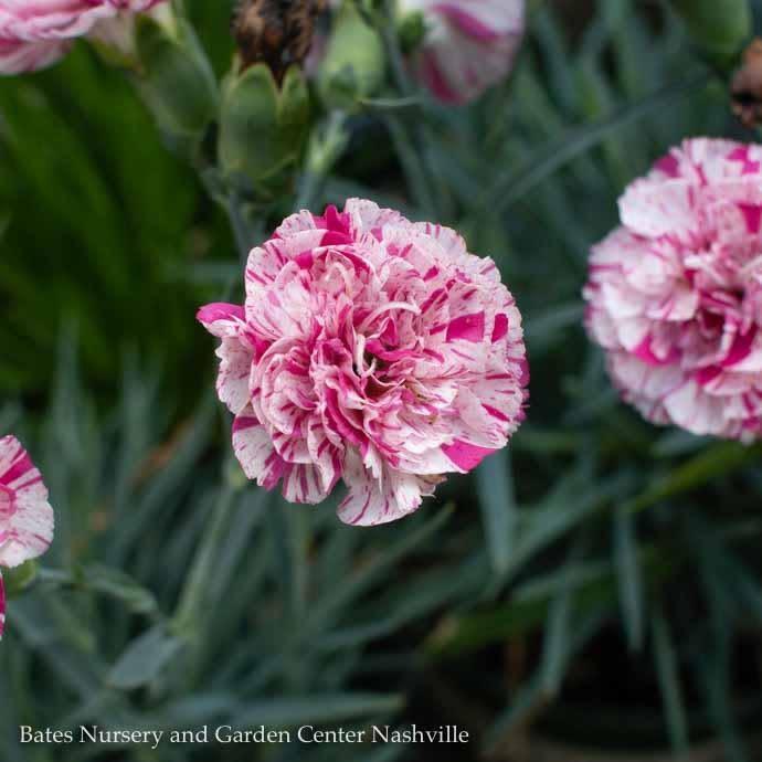 #1 Dianthus Devon Cottage Pinball Wizard Pink