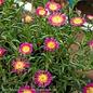 #1 Delosperma Wheels of Wonder Hot Pink/Ice Plant