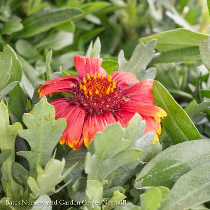 #1 Gaillardia Sunset Flash/Blanket Flower