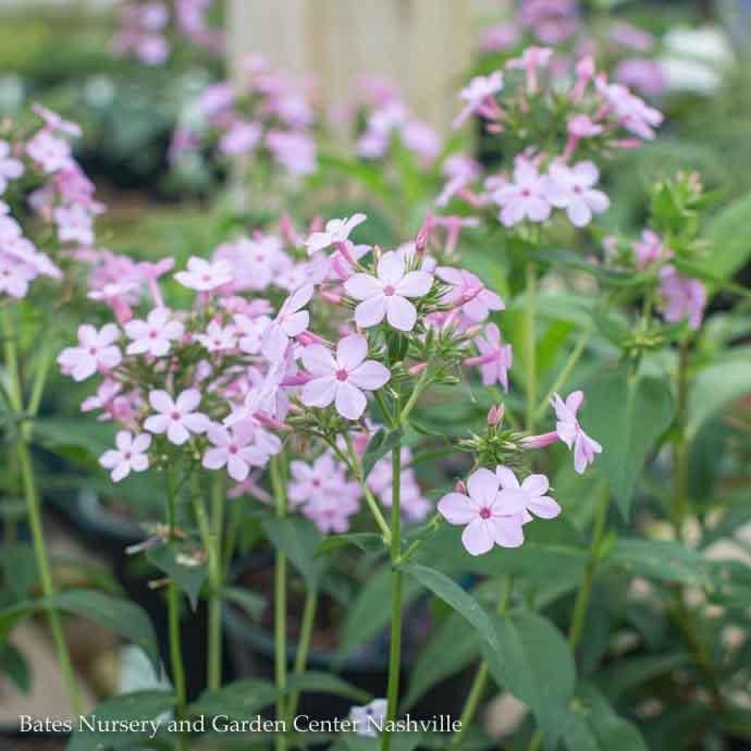 #1 Phlox pan Jeana/Upright Garden Pink