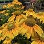 #1 Rudbeckia hirta Prairie Sun