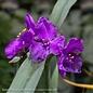 #1 Tradescantia Concord Grape/Spiderwort