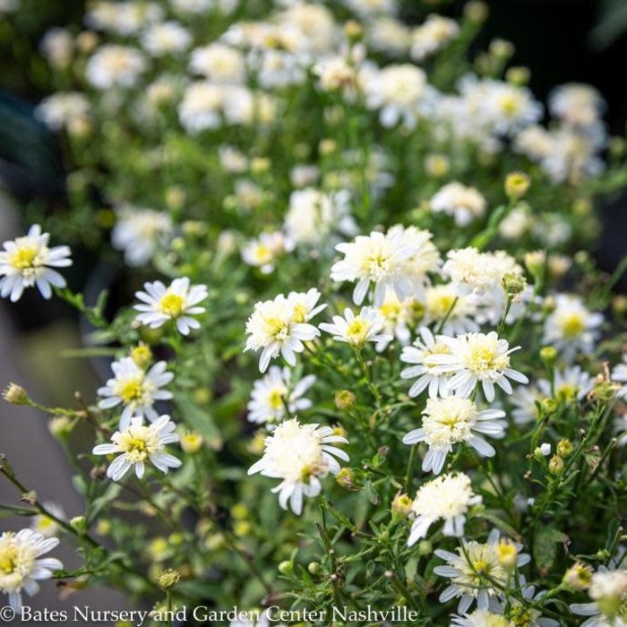 #1 Asteromea mongolica/Japanese Aster