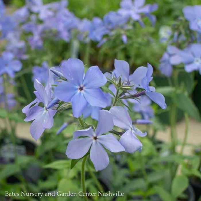 #1 Phlox divaricata Blue Moon/Woodland Phlox