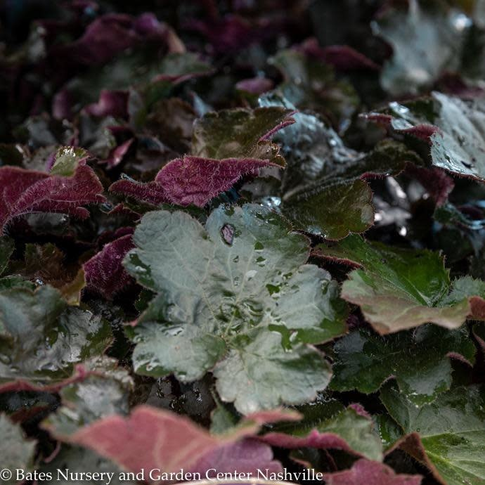 #1 Heuchera Palace Purple/Coral Bells
