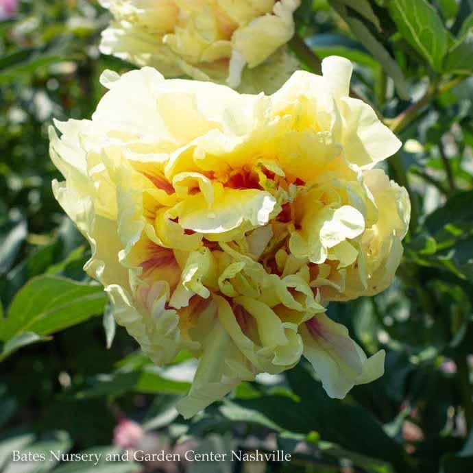 #5 Paeonia Itoh Duchess de Lorraine/Hybrid Tree Peony Double Yellow