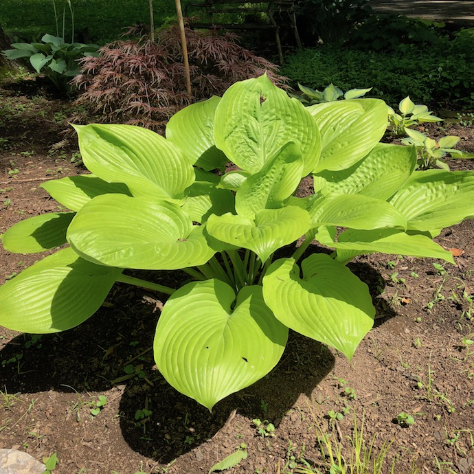 #1 Hosta Sum & Substance