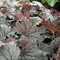 #1 Heucherella Plum Cascade/Foamy Bells