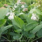 #3 Hosta Empress Wu/Giant/Shadowland Series Green