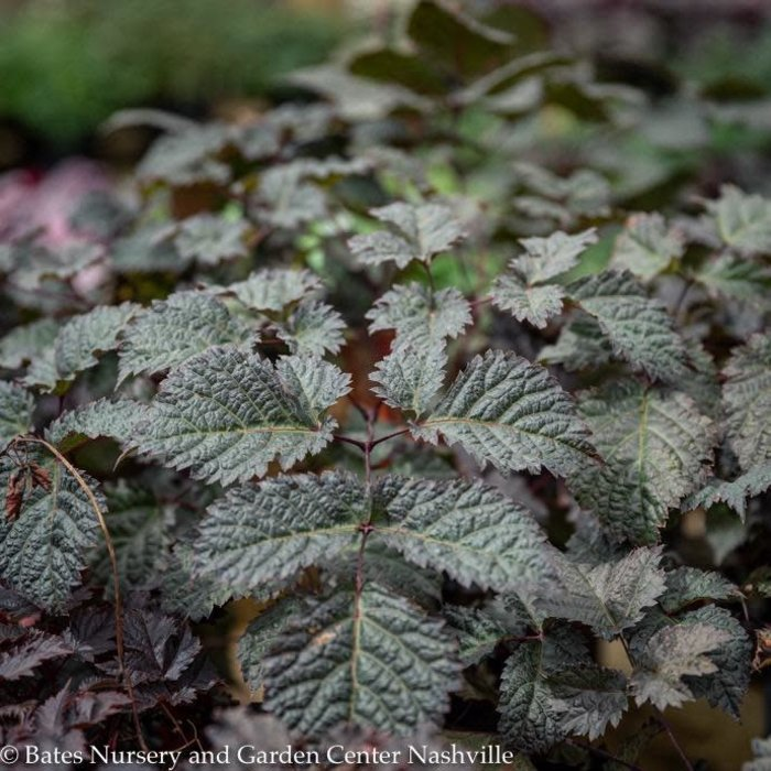 #1 Astilbe Chocolate Shogun