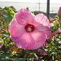 #1 Hibiscus Airbrush Effect/Hardy Pink