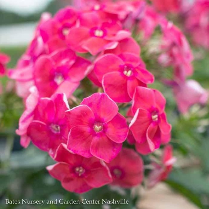 #1 Phlox p. Coral Flame/Upright Garden