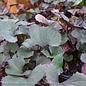 #1 Ligularia Pandora/Dark Leaf