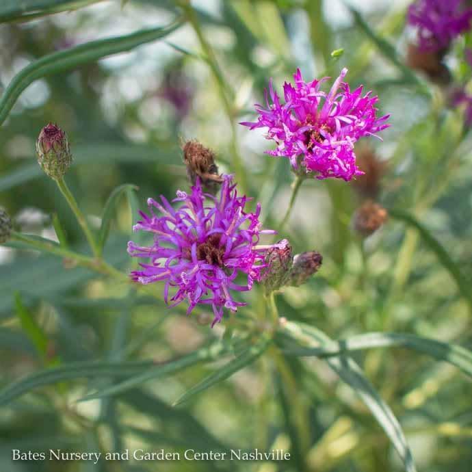 #1 Vernonia lettermannii/Narrowleaf Ironweed