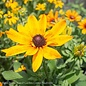 #1 Echibeckia Summerina Yellow