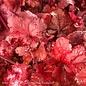 #1 Heuchera Forever Red/Coral Bells