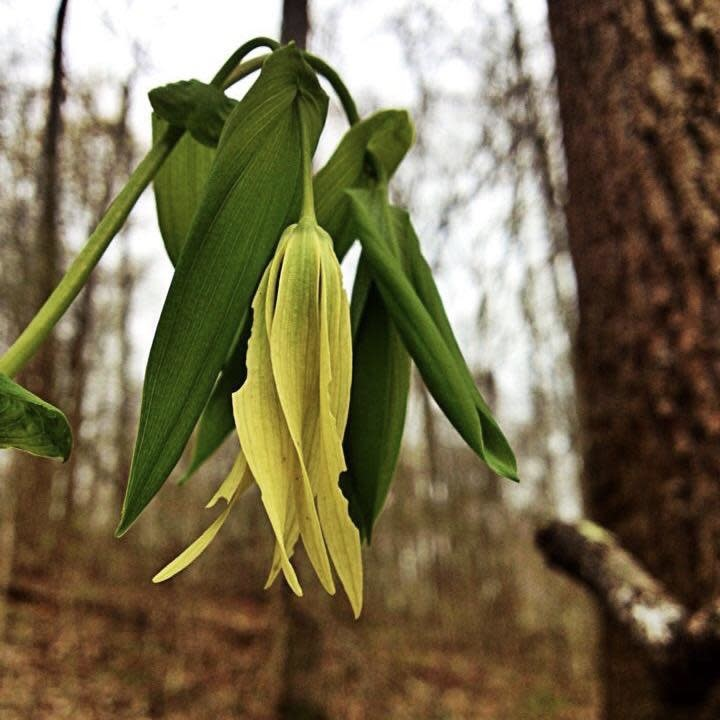 #1 Uvularia grandiflora/Large-Flowered Bellwort