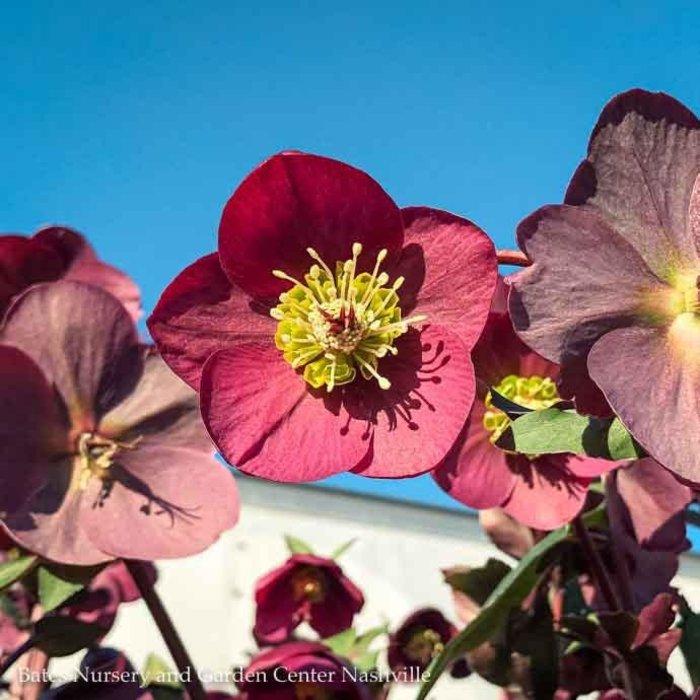 #1 Helleborus Anna's Red/Lenten Rose