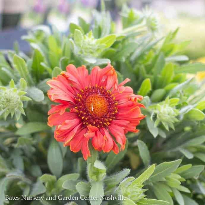 #1 Gaillardia Sunset Celebration/Blanket Flower