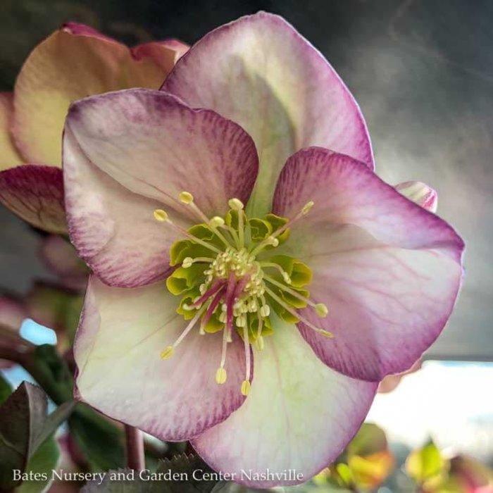 #1 Helleborus Frostkiss Glenda's Gloss/Lenten Rose
