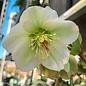 #1 Helleborus Molly's White/Lenten Rose
