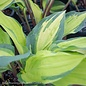#1 Hosta Island Breeze/Gold w Green Margins