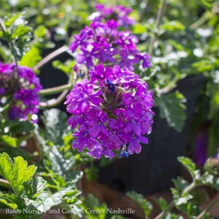 #1 Verbena Homestead Purple/Spreader