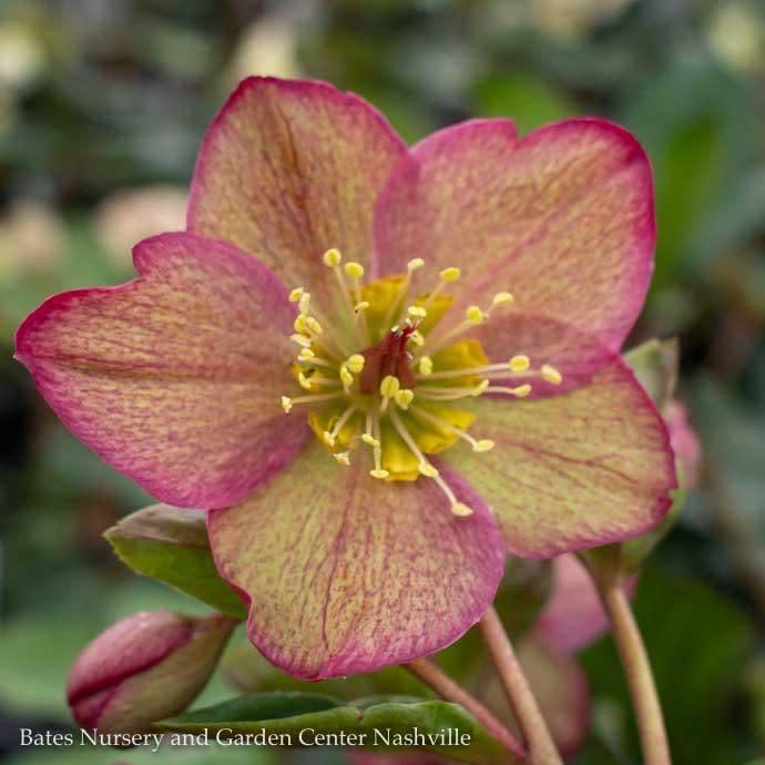 #1 Helleborus Ice N'Roses Red/Lenten Rose