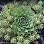 Succulent QP Sempervivum Sunset/Hens and Chicks