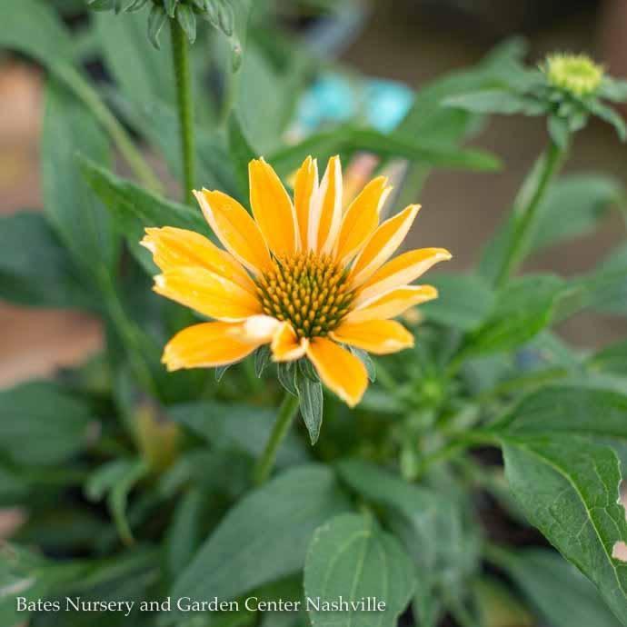 #1 Echinacea Tweety/Coneflower