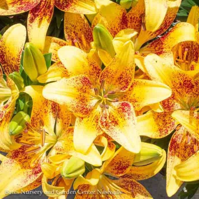 #1 Lilium asiatic Tiny Nugget/Dark Red