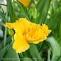 #1 Hemerocallis Saffron Skye/Daylily