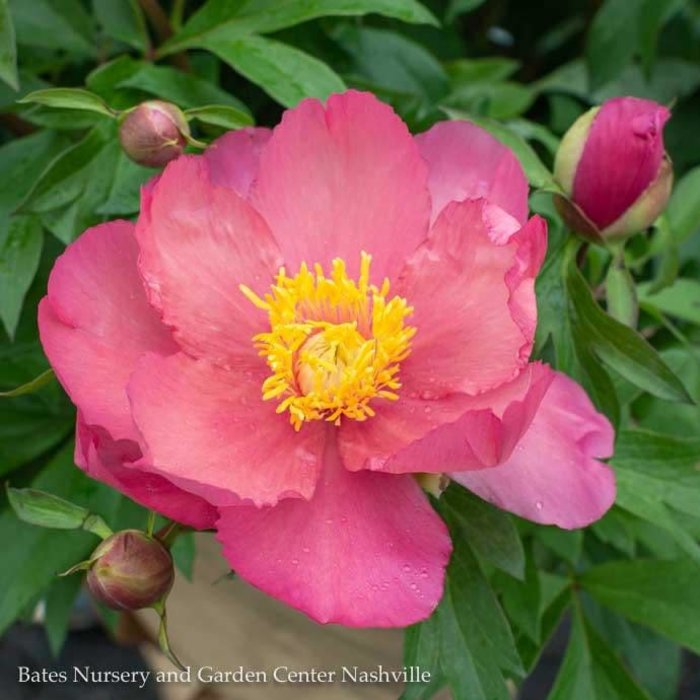 #5 Paeonia Itoh Oochigeas/Hybrid Tree Peony Tree Double Apricot-Pink
