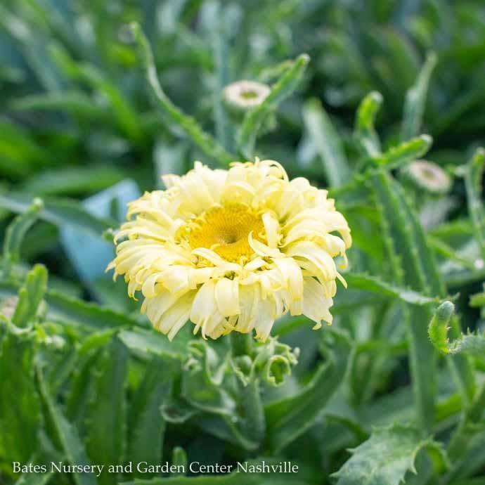 #1 Leucanthemum Goldfinch/Shasta Daisy