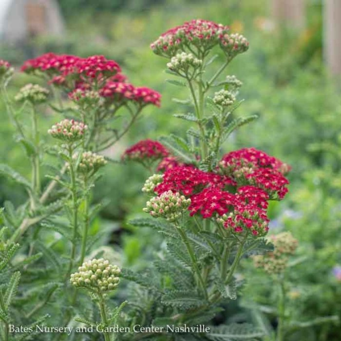 #1 Achillea Heartthrob/Yarrow Red