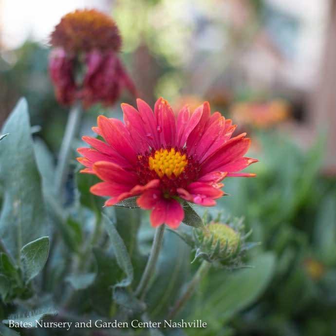 #1 Gaillardia Arizona Red Shades/Blanket Flower