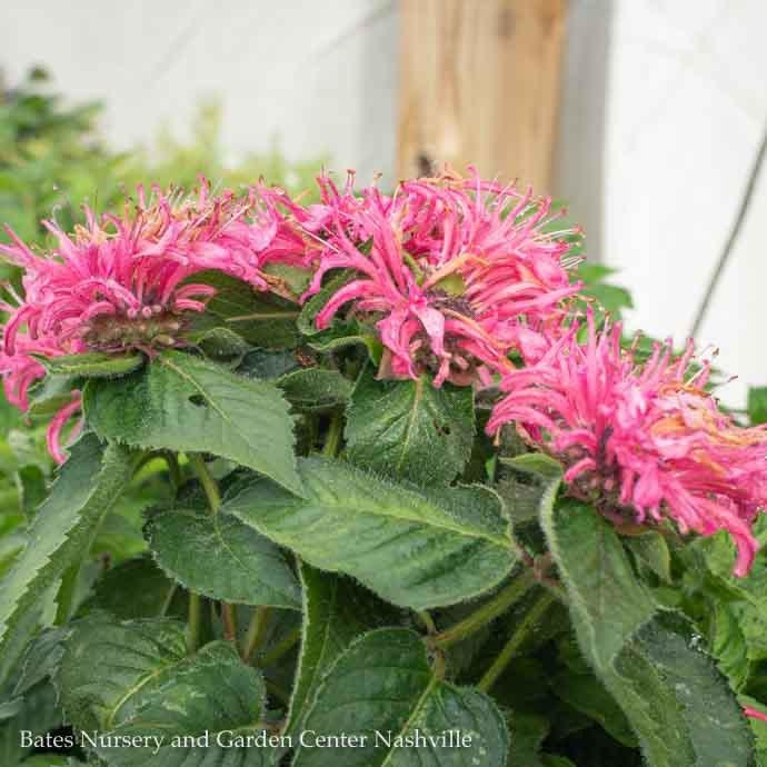 #1 Monarda Bee You Bee Merry/Bee Balm Pink